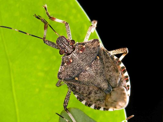 635791392890573295-USDA-stink-bug